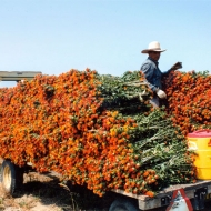 Harvesting Flowers into Bunches