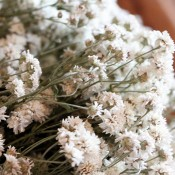 Achillea of Pearl LoveJoy Farms