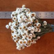 Ammobium Dried Flowers for Sale LoveJoy Farms