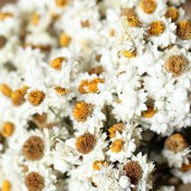 Ammobium Dried Flowers for Sale LoveJoy Farms