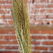 Arrow Grass for Sale, LoveJoy Farms Arrow Grass