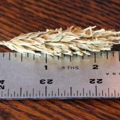 Barley Hooked for Sale