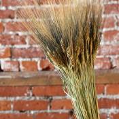 Dried Black Bearded Wheat