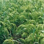 Canary Grass LoveJoy Farms