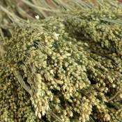 Dried Canary Grass for Sale