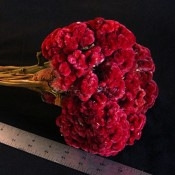 Merlot Celosia Coxcomb for Sale