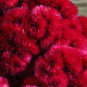 Dried Coxcomb Merlot