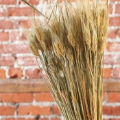 Dried Club Wheat