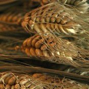 Dried Cereal Grains for Sale