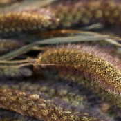Dried German Millet for Sale