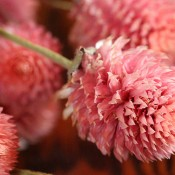 Dried Glob Amaranth Light Pink for Sale