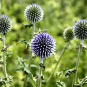 Dried Globe Thistle from LoveJoy Farms