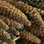 Dried Highlander Grass for Sale
