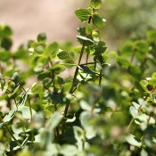 Dried Kent Beauty Oregano for Sale