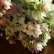 Kent Beauty Oregano for Sale LoveJoy Farms