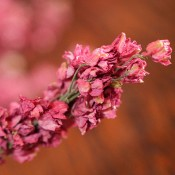 Dark Pink Larkspur Dried for Sale