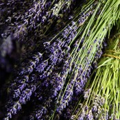 Premium Lavender from LoveJoy Farms