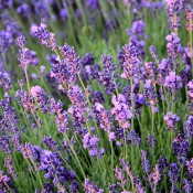 Dried Lavender LovJoy Farms