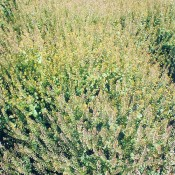 Lepidium Pepper Grass LoveJoy Farms