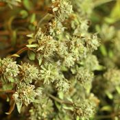 Dried Mountain Mint for Sale LoveJoy Farms