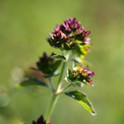 Purple Blossom Oregano