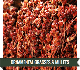LoveJoy Farms Grasses and Millets for Sale