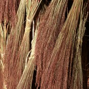 Dried Ruby Red Grass for Sale