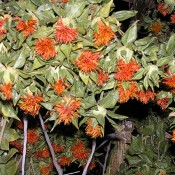 Orange Safflower Dried