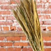 Dried Seteria Grass for Sale