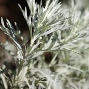 Dried Silver King Artemesia for Sale