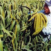Spray Millet LoveJoy Farms