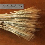 Spring Wheat Blonde Dried