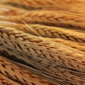 Spring Wheat for Sale