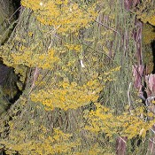 Dried Tansy LoveJoy Farms