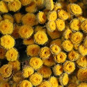 Dried Tansy for Sale