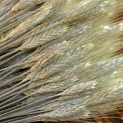Dried Triticale Bearded for Sale