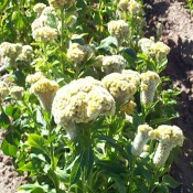 Dried Celosia Coxcomb Buff Color