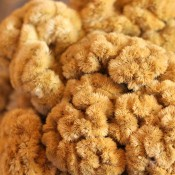 Dried Coxcomb Celosia for Sale