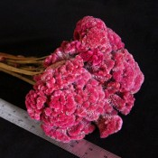 Dried Coxcomb for Sale Pink