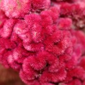 Dried Celosia for Sale Pink