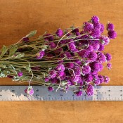 Dried Globe Amaranth Pink for Sale