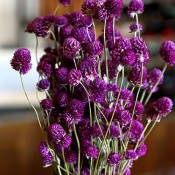Dried Globe Amaranth Pink for Sale, Purple Gomphrena for Sale LoveJoy Farms