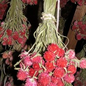 Dried Globe Amaranth Red for Sale