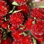 Dried Globe Amaranth Red for Sale, Red Gomphrena for Sale LoveJoy Farms
