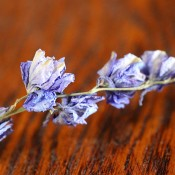 Blue Larkspur for Sale