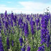 Purple Larkspur LoveJoy Farms