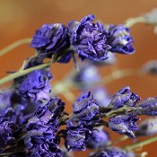 Dried Dark Blue Larkspur for Sale