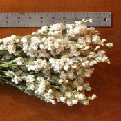 White Larkspur Dried