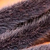 Dried Purple Majesty Millet for Sale