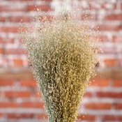 Dried Indian Rice Grass for Sale